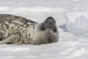 Weddell seal - pup on ice.