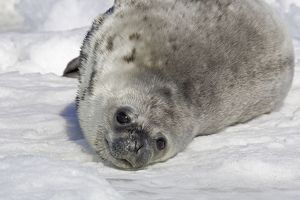 Weddell seal - pup on ice