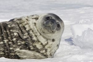 Weddell seal - pup on ice 'smiling'.