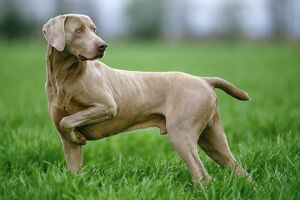 WEIMARANER DOG / Braque de Weimer holding up front leg whilst scenting