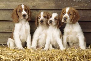 Welsh Springer Spaniel Dog - puppies