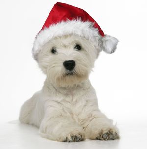 West Highland Terrier Dog - wearing Christmas hat