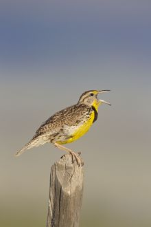 Western Meadowlark - singing - on breeding territory in early summer