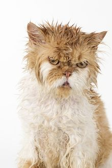 Wet ginger & white Persian cat looking angry and upset