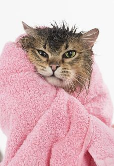 Wet and grumpy Tiffanie cat wrapped in a towel after a bath