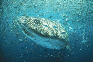 Whale Shark - In baitball, fish shoal.