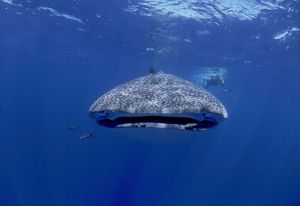 Whale Shark with diver. Facing camera