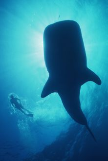 Whale Shark - Large Whale shark in silhouette with snorkeller.