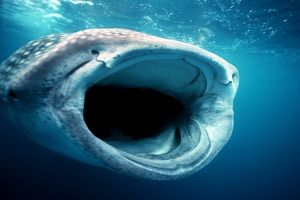 Whale SHARK - mouth open for filter feeding