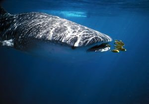 WHALE SHARK - with pilot fish