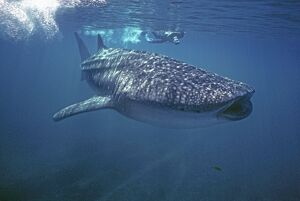 Whale Shark - Ron Taylor filming a giant Whale shark.