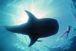 Whale shark - Shark in silhouette with snorkeller