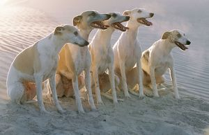 WHIPPETS - group of sandy beach