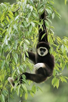 White-handed Gibbon - hanging in tree