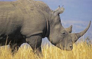 White Rhinoceros - Adult male grazing