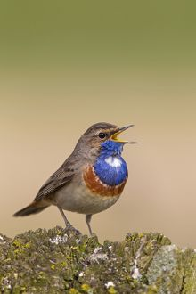 White-spotted Bluethroat singing male
