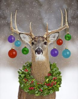 White-tailed Deer - buck in winter snow with Christmas baubles & wreath
