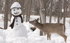 White-tailed Deer with snowman