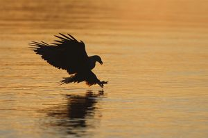 White-tailed Eagle - in flight landing in water to catch prey