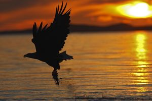 White-tailed Eagle - in flight above water - with fish prey - at sunset