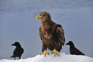 White-tailed Eagle / Sea Eagle in snow