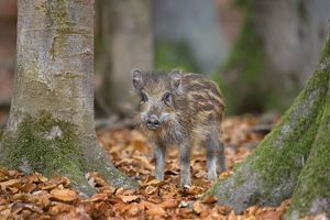 Wild Boar - piglet in forest
