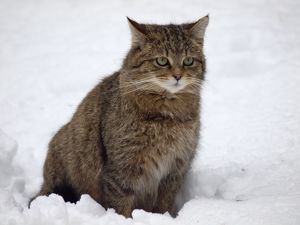 Wild Cat - sitting in snow