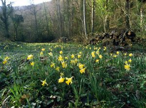 Wild DAFFODILS - in cleared area