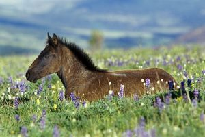 Wild Horse - colt rests among lupine and bistort wildflowers. Summer.