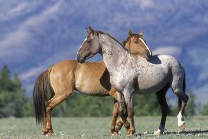 Wild HORSE / Mustang - two, standing close together