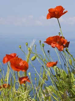 Wild Poppy or Field Poppy - against sea and sky