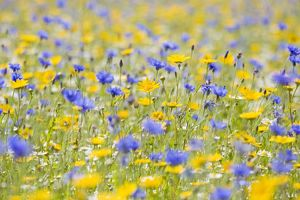 Wildflower Meadow - cultivated with Cornflower, Corn Marigold and Camomile