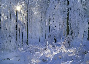 Winter forest - deeply snow covered trees and branches in forest with winter sun