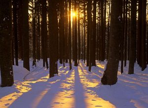 Winter scenery - coniferous forest in late evening light with sun beams throwing