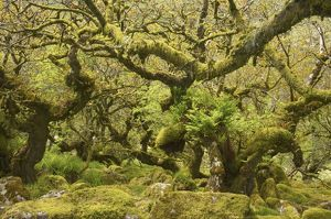 plant textures/wistman s wood showing old oaks moss covered rocky