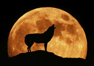 WOLF - howling at full moon, side view in silhouette