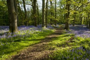 Woodland Path ~ with Bluebells ~ near Welshpool, Powys, Wales, UK