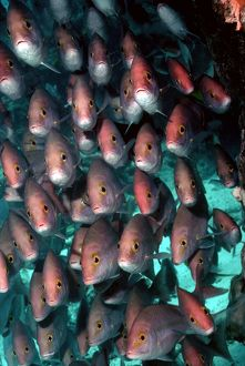 Yellow-banded SNAPPER / Sea Perch / Hussar - school congregated off the reef edge