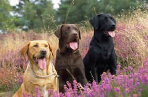 Yellow Chocolate & Black Labrador Dogs