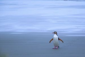 Yellow-eyed Penguin - adult coming ashore at dusk to feed its chick which is hidden