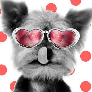 Yorkshire Terrier Dog - licking nose - wearing red glasses