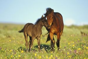 Young adolescent wild horse checks out this years colt in meadow of wildflowers