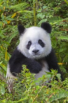 Young Giant Panda looking cute and fluffy