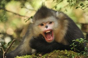 latest images/yunnan snub nosed monkey black snub nosed monkey
